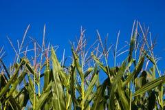 Ponto do milho e do céu azul Fotografia de Stock