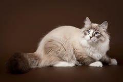 Ponto do tabby do selo com o gato branco do siberi Imagem de Stock