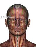 Ponto EX-HN4 Yuyao da acupuntura Imagens de Stock Royalty Free