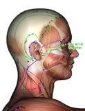 Ponto GB1 Tongziliao da acupuntura, ilustração 3D Imagens de Stock Royalty Free