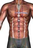 Ponto KI23 Shenfeng da acupuntura Imagem de Stock Royalty Free
