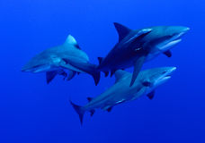 Ponto sequence. A close up on some bullsharks swimming together, Mozambique Stock Photography