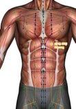 Ponto ST19 Burong da acupuntura, ilustração 3D Imagens de Stock