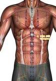 Ponto ST20 Chengman da acupuntura, ilustração 3D Fotografia de Stock Royalty Free