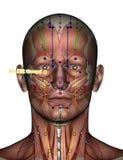 Ponto ST01 Chengqi da acupuntura Imagens de Stock