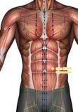 Ponto ST24 Huaroumen da acupuntura, ilustração 3D Fotos de Stock Royalty Free