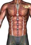 Ponto ST14 Kufang da acupuntura, ilustração 3D Fotografia de Stock