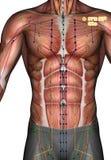 Ponto ST13 Qihu da acupuntura, ilustração 3D Foto de Stock Royalty Free