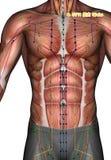 Ponto ST11 Qishe da acupuntura, ilustração 3D Imagem de Stock