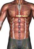 Ponto ST18 Rugen da acupuntura, ilustração 3D Fotos de Stock Royalty Free