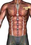 Ponto ST15 Wuyi da acupuntura, ilustração 3D Fotografia de Stock Royalty Free