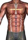 Ponto ST16 Yingchuang da acupuntura, ilustração 3D Imagem de Stock
