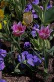 Ponto Tulip Festival Flowers da ação de graças Foto de Stock