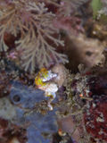 Pontohi pygmy seahorse Stock Image