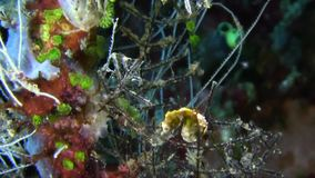 Pontohi pygmy seahorse Hippocampus pontohi on the coral in Raja Ampat. Indonesia stock footage
