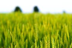Pontos da cevada na perspectiva do campo verde Imagem de Stock