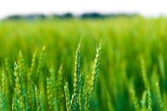 Pontos da cevada na perspectiva do campo verde Fotografia de Stock Royalty Free