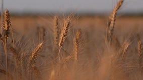 Pontos do trigo maduro em um campo no por do sol Close-up filme