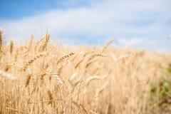 Pontos do trigo no fim do vento acima imagens de stock royalty free