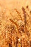 Pontos do trigo. Orelhas de milho maduras Fotografia de Stock Royalty Free