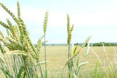 Pontos verdes do trigo A colheita é crescente e de amadurecimento no campo Fotografia de Stock Royalty Free