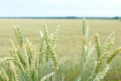 Pontos verdes do trigo A colheita é crescente e de amadurecimento no campo Foto de Stock Royalty Free