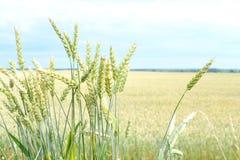 Pontos verdes do trigo A colheita é crescente e de amadurecimento no campo Imagem de Stock Royalty Free