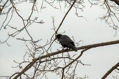 Ponuractwo wrona na gałąź obraz stock