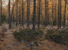 Ponury jesień las, żółci modrzewiowi drzewa na kamienistej ziemi Zdjęcie Stock