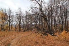 Ponurzy drzewa z spadać liśćmi Fotografia Royalty Free