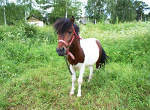 Pony. Which is used for riding Royalty Free Stock Photography
