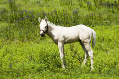 Pony. Foal horse in a pasture Royalty Free Stock Photos