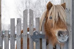 Pony. Looks out over the fence Royalty Free Stock Photo
