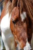 Pony. Closeup of a brown and white pony Royalty Free Stock Photo