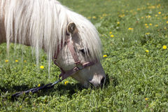 Pony. Ponie grazing on the meadows in Susai Stock Image