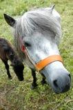 Pony Lizenzfreies Stockfoto