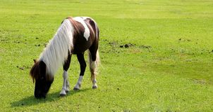 Pony. Single brown white pony with white mane eating grass royalty free stock photos