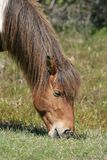 Pony 4. Beautiful Wild Assateague Island pony Stock Photos