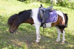pony Stockfotografie