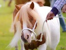 pony Immagine Stock Libera da Diritti