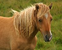Pony. Wild pony, Dartmoor, UK Royalty Free Stock Photos