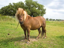 Pony. Small brown horse, the pony on the pasture royalty free stock photography