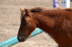 pony Fotografia Stock Libera da Diritti