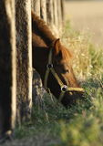 Pony. Poking his head through paling to graze on the meadow Stock Photo
