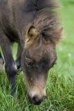 Pony. A cute mini pony on a willow Royalty Free Stock Photos
