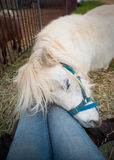 Pony Affectionately Nuzzling Human stock foto