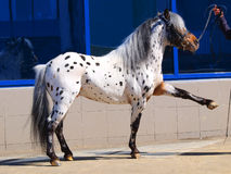 Pony Appaloosa Stockfotos