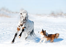 Pony appaloosa with border collie have fun in snow Stock Images