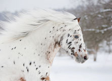 Pony appaloosa portrait Royalty Free Stock Photos