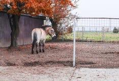 Pony auf der Weide auf dem Bauernhof stockfotos